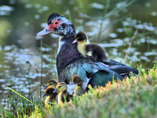Muscovy and ducklings HDR 20160222