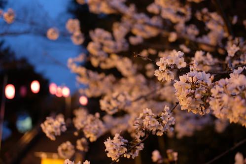 Sakura festival lantern