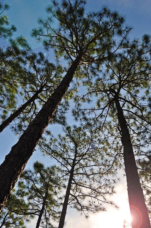 Zuni Pine Barrens (12)