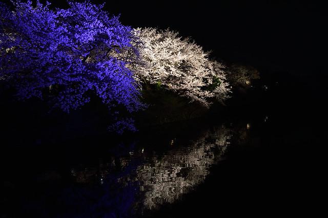 サクラ_ライトアップ Cherry blossoms