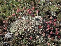 Sierra Nevada buckwheat, Eriogonum ovalifolium var. nivale
