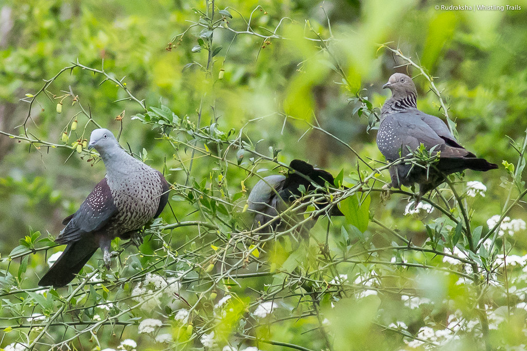 Speckled Wood Pigeons