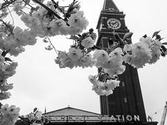 Flowering trees, King Street Station