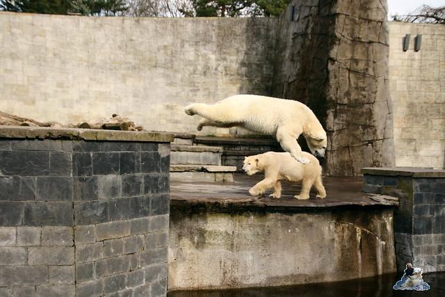 Eisbär Fiete im Zoo Rostock 16.04.2016  320