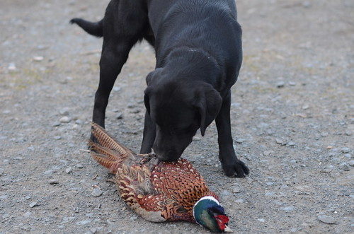 Pheasant Training (7)
