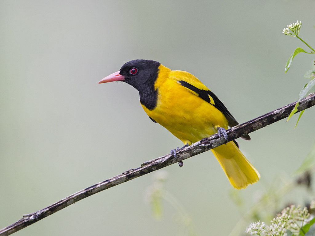 Black-hooed Oriole 3