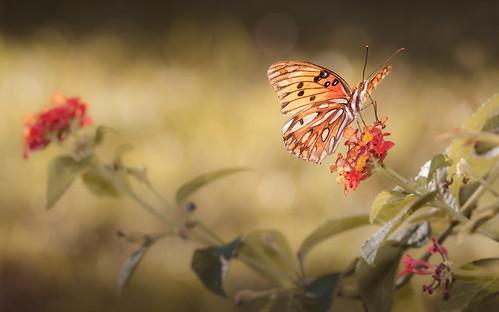 flowers autumn light color fall nature canon butterfly garden georgia insect eos warm bokeh midway lantana gulffritillary butterflydays canon7d