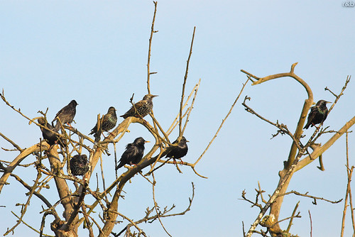 Estorninho-preto (Sturnus unicolor) e Estorninho-malhado (Sturnus vulgaris)