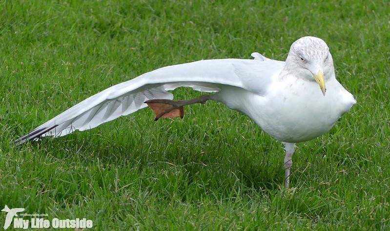 P1000022 - Herring Gull, Aberystwyth
