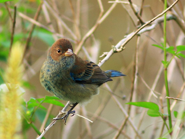 Indigo Bunting winter male 20160120