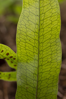 Kangaroo Fern (Microsorum pustulatum)