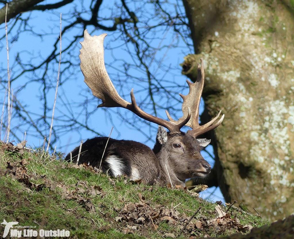 P1000227 - Fallow Deer, Dinefwr