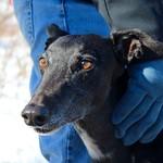 Greyhound Adventures at the Arnold Arboretum, Jamaica Plain, MA, Feb 7th 2016