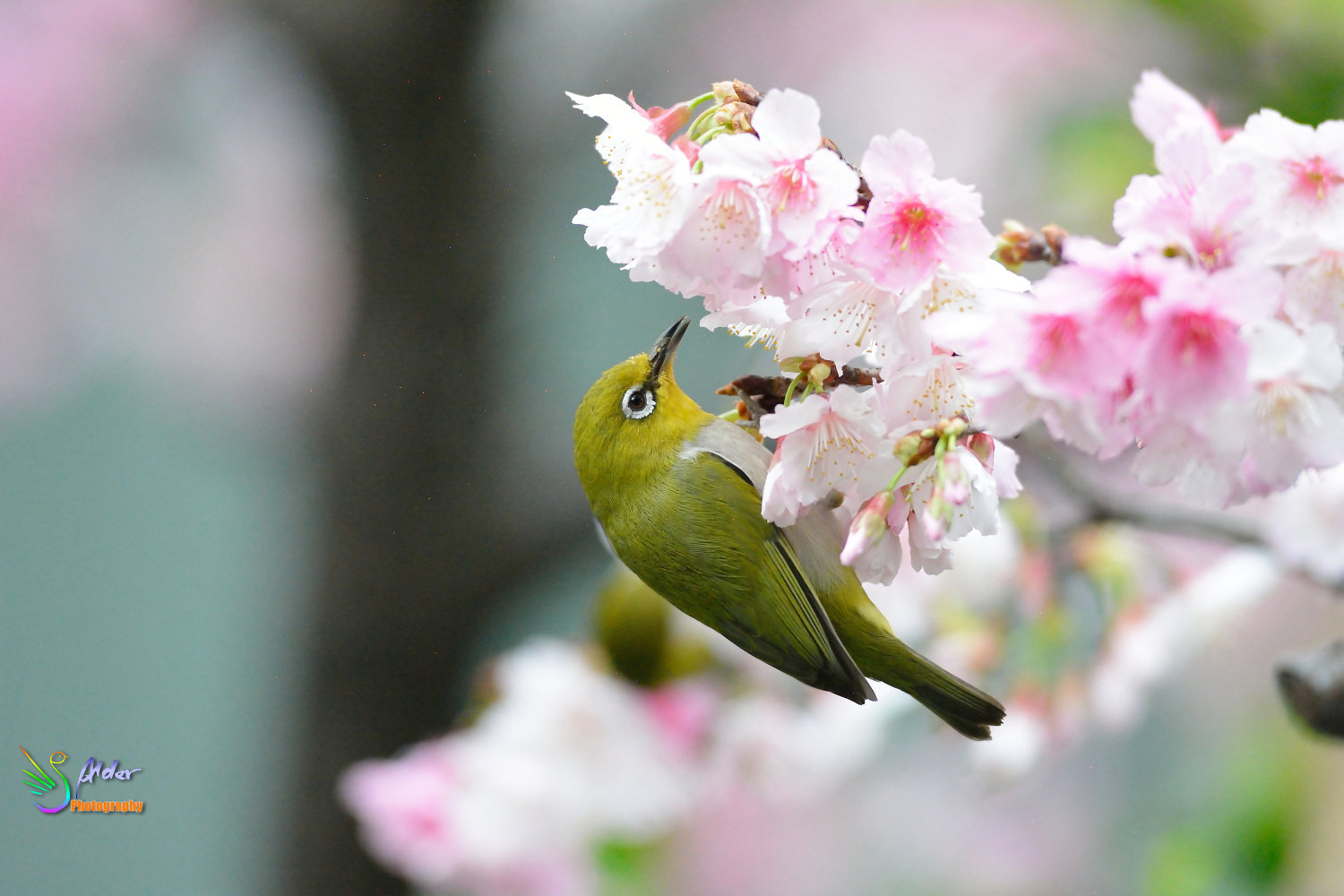 Sakura_White-eye_7199