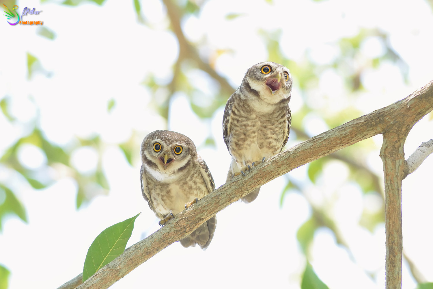 Spotted_Owlet_2796