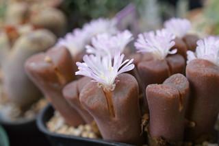 DSC_1424 Ophthalmophyllum verrucosum  オフタルモフィルム ベルコーサム