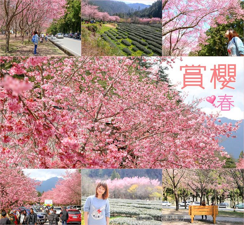 2016武陵農場賞櫻花
