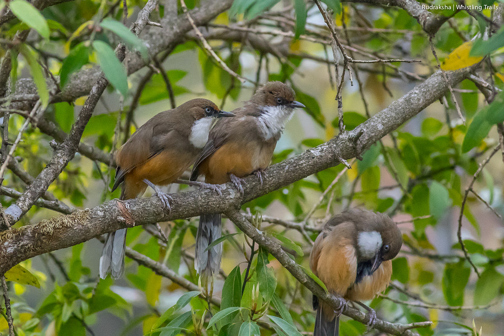 White-throated Laughthrush