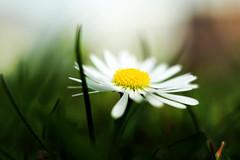 daisy, Gänseblümchen