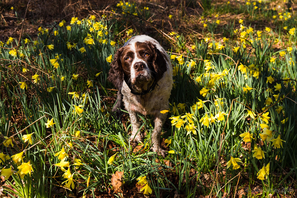 Max in the daffodils