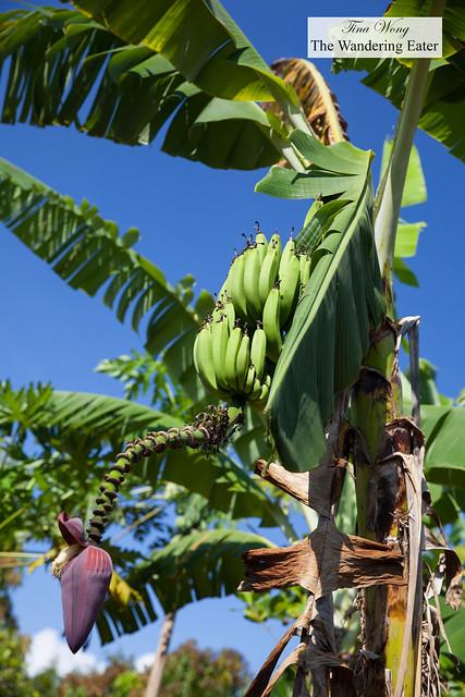 Banana fruit and banana blossom