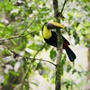 A curious #Tucan checking us out during one of our hikes through the #rainforest of #Corcovado #CostaRica :blush: