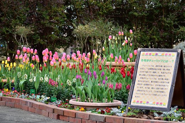冬咲きチューリップ Tulip