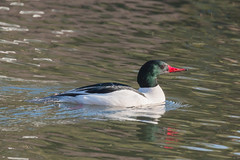 IMG_1780.jpg Common Merganser, West Lake