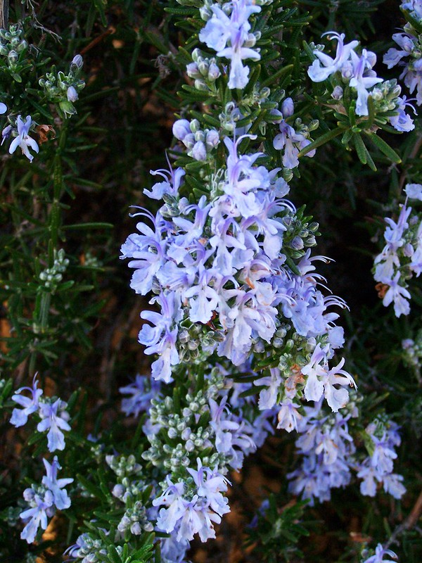 Rosemary 'Logee Blue'
