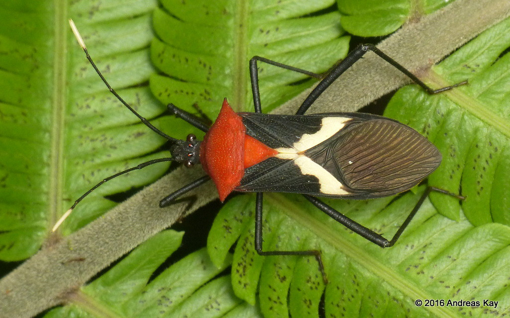 Coreid bug