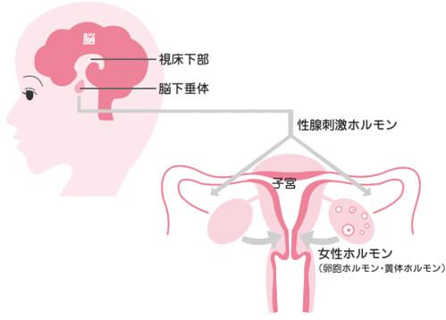 視床下部が女性ホルモンを分泌させるように命令する