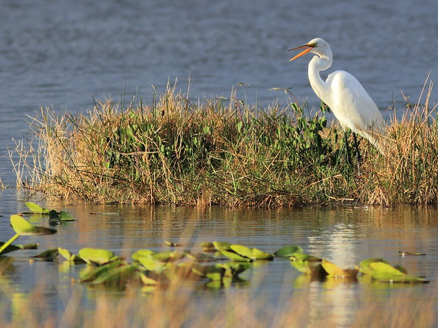 Great Egret 20160309