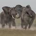 elephants fighting by Chris He - 2013