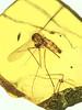 Oldest fossil showing Plasmodium malaria