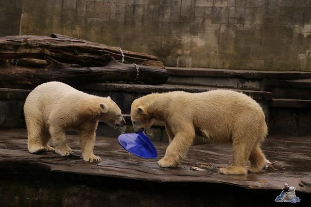 Eisbär Fiete im Zoo Rostock 13.03.2016 Teil 2  0158