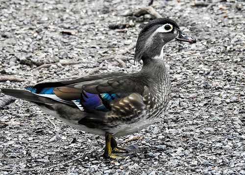 Quogue.woodduck.female