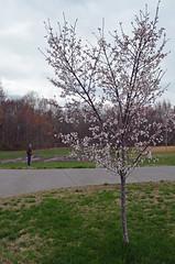 Blossoms v2
