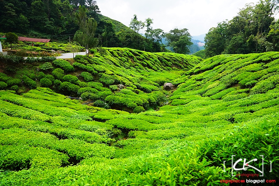 Cameron_Highlands_022