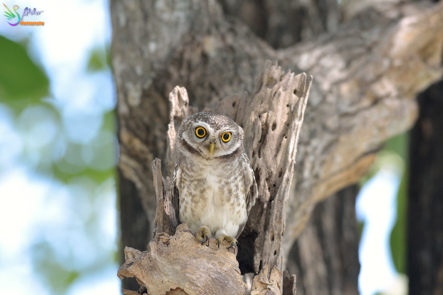 Spotted_Owlet_3173