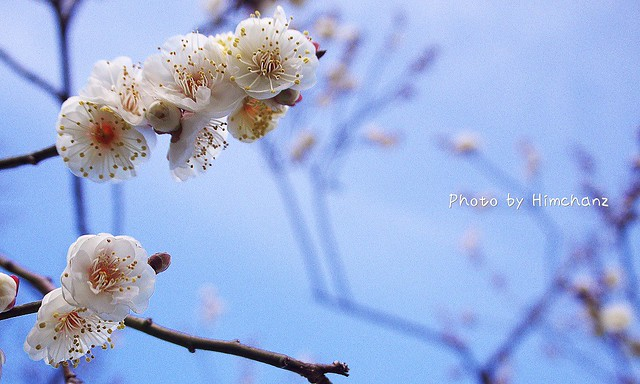 白い梅も咲いていました!