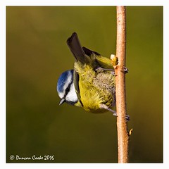 HolderDS0D3901-Blue-Tit
