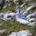 Blue Jay by Corey Hayes