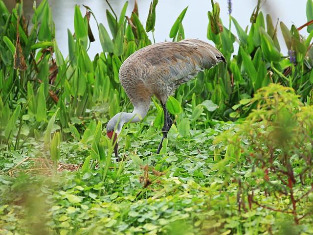 Sandhill Crane tending nest 20160221