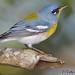 Reinita Pechidorada...Northern Parula...Setophaga americana....