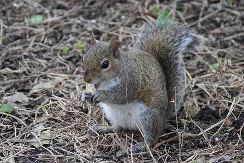 IMG_6947_Squirrel_at_Howard_Park