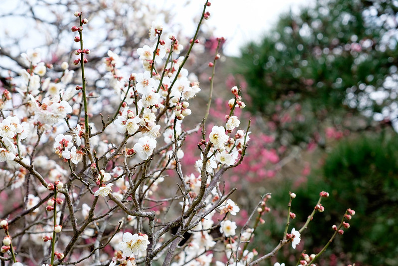 松島 円通院付近の梅