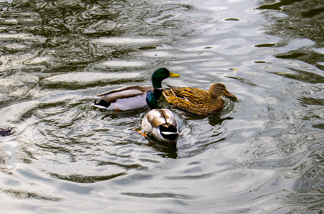 ducks-water-croped