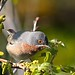 Eastern Subalpine Warbler