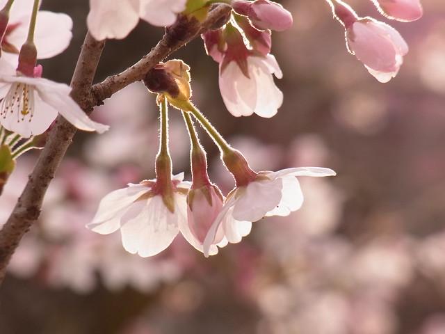 三輪明神の桜