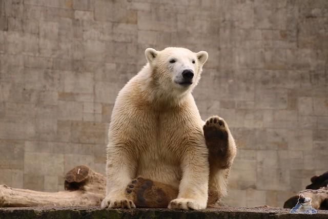 Eisbär Fiete im Zoo Rostock 20.03.2016  020